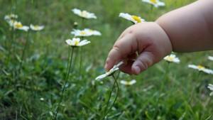 Kleinkind berührt Gänseblümchen